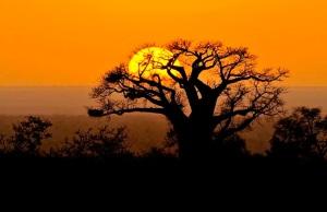 baobab-sunrise-kruger-park
