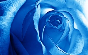 blue_rose-wide