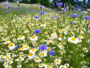 Summer_Wild_Flowers_-_geograph.org.uk_-_460933