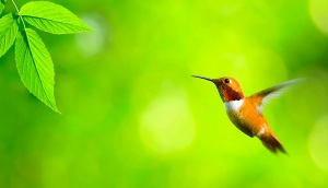 Hummingbird-leaf-green-flight