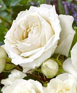 ROSES:WHITE:_n