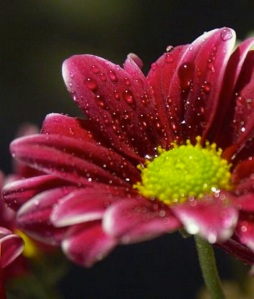dark red daisy flower with green eye