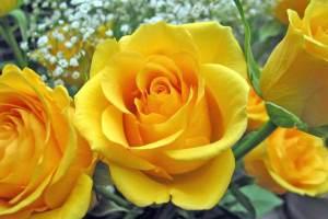 Yellow-Roses-roses-9842259-1800-1200