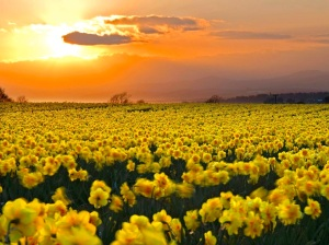 field-of-daffodils-wallpaper-9