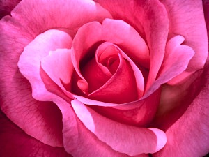 rose-picture-300x225