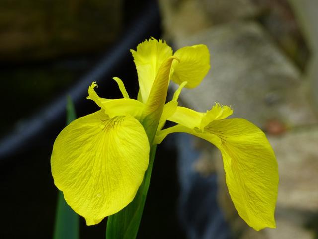 iris (5)