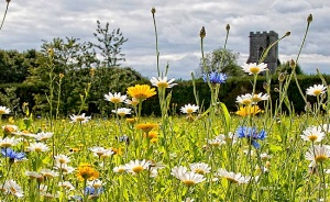 English_wildflower_meadow