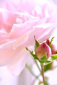 ROSE:LARGE:PINK:_n