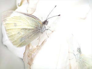 Green-veined_White_butterfly_wallpapers