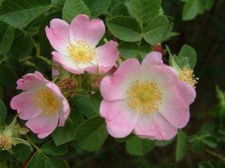 rosaeglanteria300