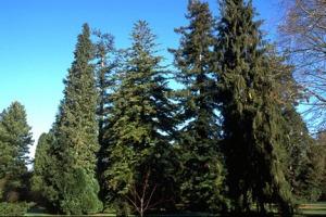 conifers_6263