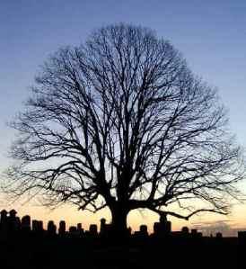maple_tree_photo