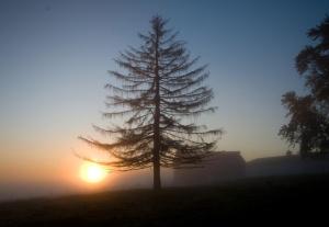 tamarack-tree
